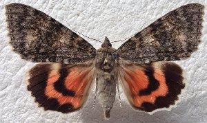 (Catocala nupta complex - 20436-290614-PA)  @14 [ ] Copyright (2014) Balazs Benedek Research coll of Balazs Benedek