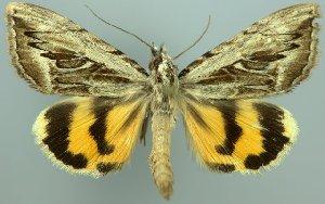 (Catocala aestimabilis - 20451-240614-KA)  @15 [ ] Copyright (2014) Aidas Saldaitis Vilnius Ecological Institute