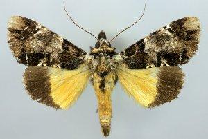 (Ulotrichopus - 20458-150708-RW)  @15 [ ] Copyright (2014) Robert Borth LepBio, LLC