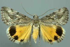 (Anydrophila mirifica - 20475-290514-KA)  @14 [ ] Copyright (2014) Robert Borth LepBio, LLC