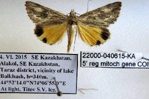 (Anydrophila simiola - 22000-040615-KA)  @13 [ ] Copyright (2017) Robert Borth LepBio, LLC