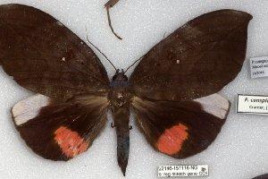 (Phyllodes conspiculator - 22146-151116-NG)  @11 [ ] Copyright (2018) Robert Borth LepBio, LLC