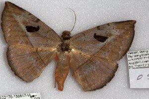 (Hypopyra ossigeroides - 22170-150817-VI)  @11 [ ] Copyright (2018) Robert Borth LepBio, LLC