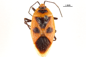 (Parastrachiidae - CCDB-29473-F10)  @11 [ ] CreativeCommons - Attribution Non-Commercial Share-Alike (2018) CBG Photography Group Centre for Biodiversity Genomics