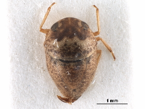 (Helotrephidae - CCDB-29473-G12)  @11 [ ] CreativeCommons - Attribution Non-Commercial Share-Alike (2018) CBG Photography Group Centre for Biodiversity Genomics