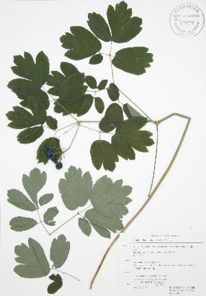 ( - RBG 120)  @11 [ ] Copyright (2009) Steven Newmaster University of Guelph BIO Herbarium