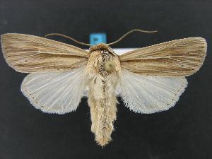 (Leucania lapidaria - DH005175)  @15 [ ] CreativeCommons - Attribution Non-Commercial Share-Alike (2010) CBG Photography Group Centre for Biodiversity Genomics