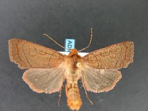 (Metaxaglaea inulta - DH011315)  @14 [ ] CreativeCommons - Attribution Non-Commercial Share-Alike (2010) CBG Photography Group Centre for Biodiversity Genomics