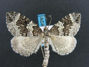 (Eulithis explanata - DH012357)  @15 [ ] Unspecified (default): All Rights Reserved  Unspecified Unspecified