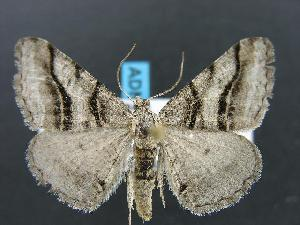 (Digrammia orillata - DH012753)  @14 [ ] Unspecified (default): All Rights Reserved  Unspecified Unspecified