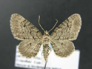 (Eupithecia satyrata dodata - DH012809)  @14 [ ] Unspecified (default): All Rights Reserved  Unspecified Unspecified