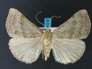 (Hypena atomaria - AC000689)  @14 [ ] Unspecified (default): All Rights Reserved  Unspecified Unspecified