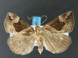(Hypena manalis - DH006943)  @14 [ ] Unspecified (default): All Rights Reserved  Unspecified Unspecified