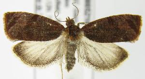 (Olethreutes bicoloranum - MDH005216)  @14 [ ] Unspecified (default): All Rights Reserved  Unspecified Unspecified