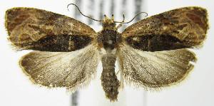 (Olethreutes nigranum - MDH007707)  @14 [ ] Unspecified (default): All Rights Reserved  Unspecified Unspecified