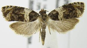 (Olethreutes fasciatana - MDH006793)  @15 [ ] Unspecified (default): All Rights Reserved  Unspecified Unspecified