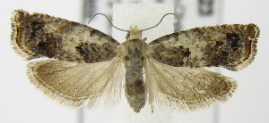 (Epinotia sp - MDH006523)  @14 [ ] Unspecified (default): All Rights Reserved  Unspecified Unspecified