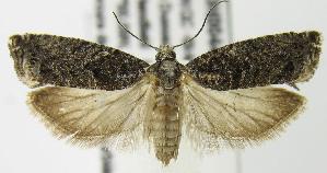 (Epinotia nisella - MDH004403)  @15 [ ] Unspecified (default): All Rights Reserved  Unspecified Unspecified