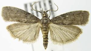(Oreana unicolorella PS - MDH003709)  @14 [ ] Unspecified (default): All Rights Reserved  Unspecified Unspecified