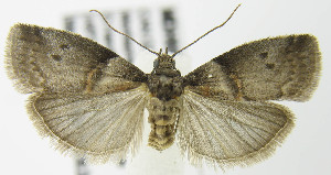 (Acrobasis caryae - MDH007732)  @14 [ ] Unspecified (default): All Rights Reserved  Unspecified Unspecified