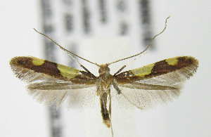 (Caloptilia bimaculatella - MDH006187)  @15 [ ] Unspecified (default): All Rights Reserved  Unspecified Unspecified