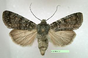 (Euxoa occidentalis - UASM112127)  @15 [ ] Unspecified (default): All Rights Reserved  Unspecified Unspecified