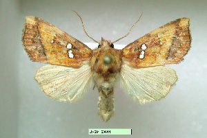 (Papaipema lysimachiae - UASM128614)  @14 [ ] Unspecified (default): All Rights Reserved  Unspecified Unspecified