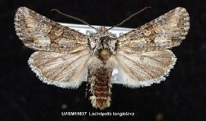 (Lacinipolia longiclava - UASM19837)  @14 [ ] Unspecified (default): All Rights Reserved  Unspecified Unspecified
