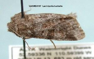 (Lacinipolia lustralis - UASM24107)  @14 [ ] Unspecified (default): All Rights Reserved  Unspecified Unspecified