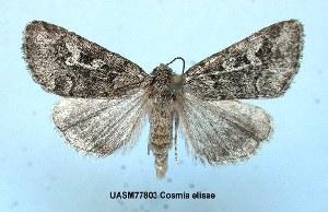 (Cosmia elisae - UASM477803)  @14 [ ] Unspecified (default): All Rights Reserved  Unspecified Unspecified