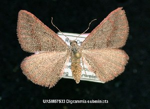 (Digrammia subminiata - UASM57533)  @14 [ ] Unspecified (default): All Rights Reserved  Unspecified Unspecified