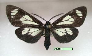 (Gnophaela vermiculata - UASM99695)  @14 [ ] Unspecified (default): All Rights Reserved  Unspecified Unspecified