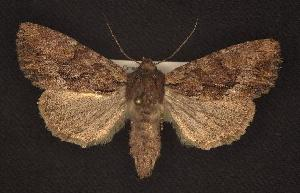 (Apamea tahoeensis - CNCNoctuoidea6289)  @14 [ ] Unspecified (default): All Rights Reserved  Unspecified Unspecified