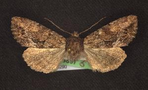 (Apamea sp. 2 - CNCNoctuoidea6290)  @13 [ ] Unspecified (default): All Rights Reserved  Unspecified Unspecified