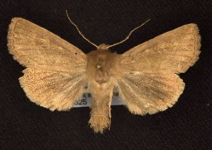 (Apamea niveivenosa - CNCNoctuoidea6325)  @15 [ ] Unspecified (default): All Rights Reserved  Unspecified Unspecified