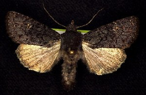 (Melanapamea - CNCNoctuoidea6377)  @14 [ ] Unspecified (default): All Rights Reserved  Unspecified Unspecified
