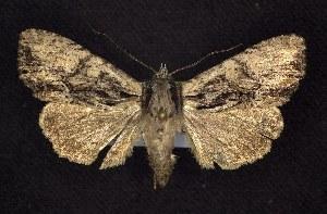 (Apamea cariosa - CNCNoctuoidea6382)  @15 [ ] Unspecified (default): All Rights Reserved  Unspecified Unspecified