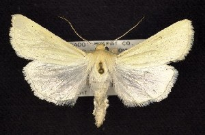 (Copablepharon spiritum - CNCNoctuoidea6418)  @14 [ ] Unspecified (default): All Rights Reserved  Unspecified Unspecified