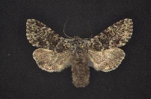 (Lasionycta haida - CNCNoctuoidea6437)  @14 [ ] Unspecified (default): All Rights Reserved  Unspecified Unspecified