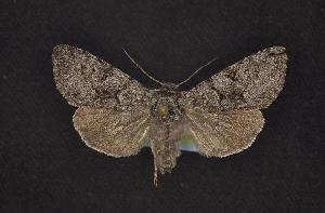 (Lasionycta fergusoni - CNCNoctuoidea6448)  @14 [ ] Unspecified (default): All Rights Reserved  Unspecified Unspecified