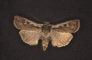 (Euxoa nr. idahoensis sp. 2 black - CNCNoctuoidea6515)  @13 [ ] Unspecified (default): All Rights Reserved  Unspecified Unspecified