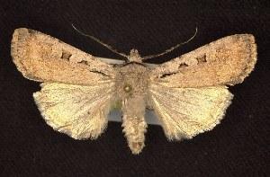 (Euxoa tristicula - CNCNoctuoidea6539)  @14 [ ] Unspecified (default): All Rights Reserved  Unspecified Unspecified