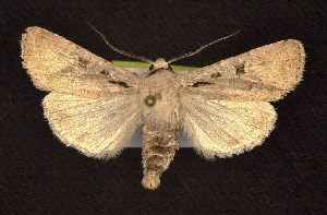 (Euxoa tristicula - CNCNoctuoidea6541)  @14 [ ] Unspecified (default): All Rights Reserved  Unspecified Unspecified