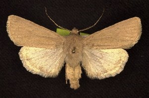(Euxoa aequalis - CNCNoctuoidea6547)  @14 [ ] Unspecified (default): All Rights Reserved  Unspecified Unspecified