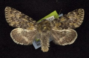 (Lasionycta discolor - CNCNoctuoidea6622)  @14 [ ] Unspecified (default): All Rights Reserved  Unspecified Unspecified