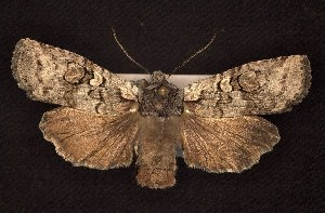 (Lithophane tepida - CNCNoctuoidea6670)  @13 [ ] Unspecified (default): All Rights Reserved  Unspecified Unspecified