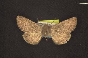(Lasionycta sp. yellow - CNCNoctuoidea6727)  @12 [ ] Unspecified (default): All Rights Reserved  Unspecified Unspecified