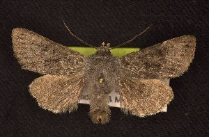 (Lasionycta phoca - CNCNoctuoidea6734)  @14 [ ] Unspecified (default): All Rights Reserved  Unspecified Unspecified