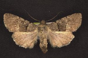 (Sympistis cherti - CNCNoctuoidea6741)  @14 [ ] Unspecified (default): All Rights Reserved  Unspecified Unspecified