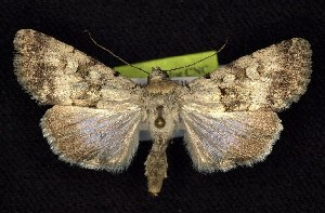 (Sympistis pallida - CNCNoctuoidea6753)  @15 [ ] Unspecified (default): All Rights Reserved  Unspecified Unspecified